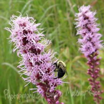 Bee seeking nectar on Prairie Blazingstar, Liatris