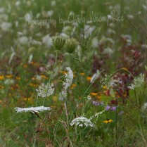 A small portion of the early August prairie
