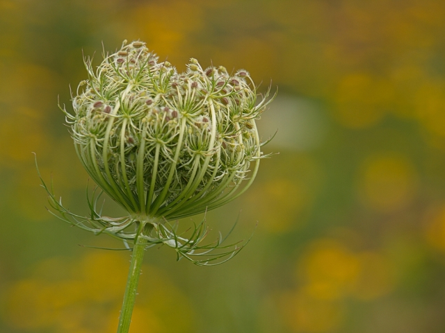 Queen Anne's Lace - pre-bloom