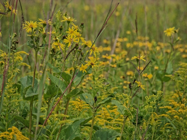 Cuppants (Silphium perfoliatum) flow into a sea of yellow Anise-scented goldenrod (Solidago odora), and orange coneflowers (Rudbeckia fulgida).
