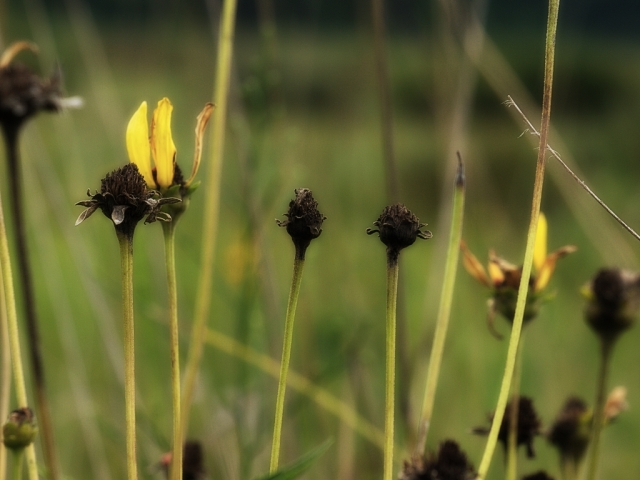 Seedheads of Black-eyed Susans