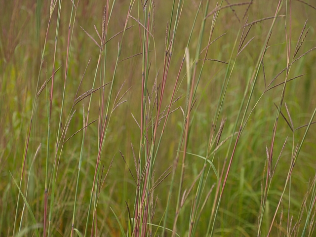 Wind painting a close in view of the neon, late August colors, of Big Bluestem prairie grass.