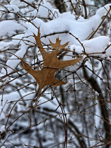 No escape for this oak leaf,