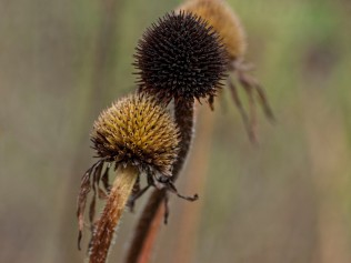 Dried seedheads of Coneflowers, late August. Echinacea.