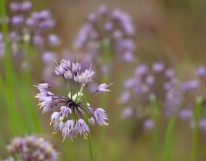 Nodding Pink Onion - Allium cernuum