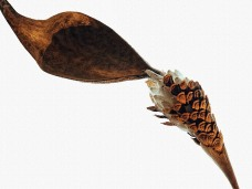 Butterfly Week_seedpod