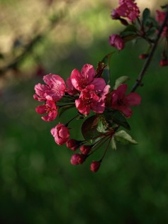 Crabapple Blossom_one