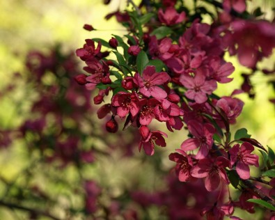 Crabapple Blossom with Ninebark