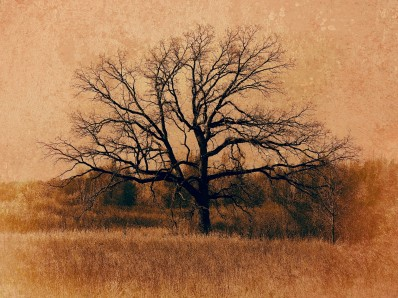 White River Marsh Oak